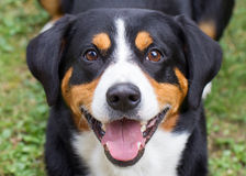Young Sennenhund, close-up Stock Photos