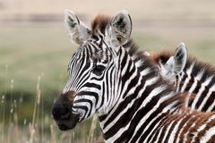 Young Serengeti Zebra royalty free stock images