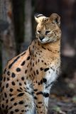 Young serval cat Felis serval. Close young serval cat Felis serval royalty free stock images