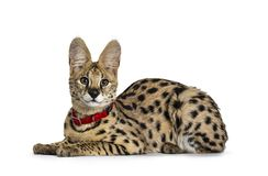 Young Serval cat kitten, Isolated on white background. Young Serval cat kitten laying down side ways wearing red collar, looking to camera. Isolated on white stock photo