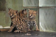 Young servals royalty free stock image