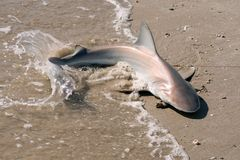 A young shark carcharhinus lying in the surf band beats its ta Royalty Free Stock Photography