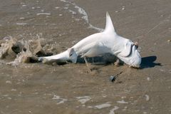 The young shark carcharhinus was caught on a fishing rod and p. Ulled to shore. Texas, Gulf of Mexico, USA royalty free stock images