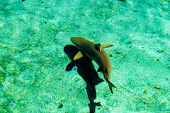 Young Shark. A young shark and his shadow taken from above the water. New Providence Island, Nassau, Bahamas royalty free stock images