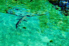 Young Shark. A young shark and his shadow taken from above the water. New Providence Island, Nassau, Bahamas stock photography