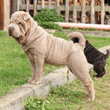 Young sharpei Royalty Free Stock Images
