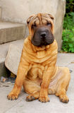 Young sharpei male2. Young sharpei, age 7 months old, red masked boy Stock Image