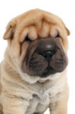 Young sharpei puppy dog Royalty Free Stock Photo