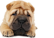 Young sharpei puppy dog Royalty Free Stock Photos