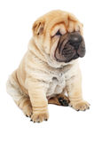 Young sharpei puppy dog Stock Photo