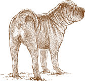Young sharpei Royalty Free Stock Photography