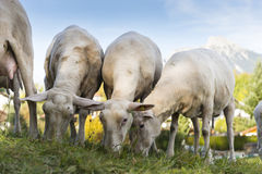 Young sheared sheep graze at grass hill Stock Photography