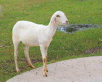 Free Young Sheared Sheep In Farm Royalty Free Stock Photos - 43832268