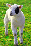 Young sheep Royalty Free Stock Photo