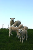Young sheep royalty free stock images