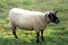 A young sheep with a black head. Close-up of a young black-headed ewe in a field in summer royalty free stock photo