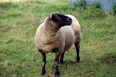 A young sheep with a black head stock images
