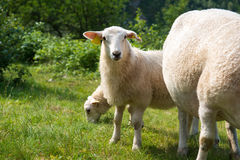 Young sheep eating grass in the mountains, Norway. Young sheep eating green grass in the mountains, Norway Royalty Free Stock Photography