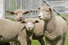 Young sheep at Estancia Perales stock images