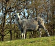 Young sheep Royalty Free Stock Image