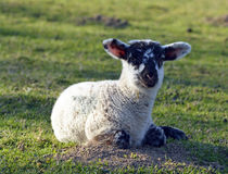 Young sheep Stock Images