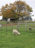 Young sheep in farm eating grass Stock Photography