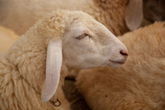 Young sheep in farm Royalty Free Stock Image