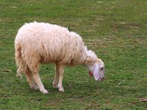 Young sheep feeding Royalty Free Stock Photos