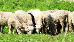 Young sheep grazing in the meadow stock photography