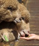 Young Sheep are Hand Fed Royalty Free Stock Image