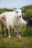 Young sheep, lamb bleating in the flock Stock Photography
