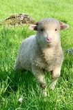 Young lamb, on a green pasture at the farm in mountains. Young sheep or lamb, on a green pasture at the farm in the mountains. Cute young baby animal portrait royalty free stock photography