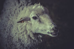 A young sheep , lamb Royalty Free Stock Photos