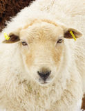 Young sheep / Lamb on a winter day Royalty Free Stock Image