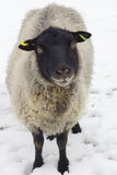 Young sheep / Lamb on a winter day Stock Photography