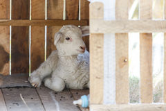 Young sheep in a little house Stock Images