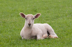 Young sheep. Lying alone in the field away from its mother Royalty Free Stock Photos