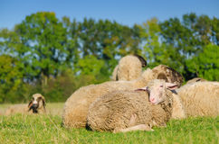 Young sheep lying with flock Stock Images