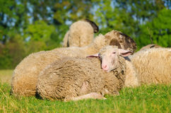 Young sheep lying in flock Stock Photo