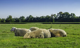 Young sheep lying with flock Stock Photos