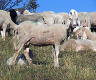 Young sheep in the midst of the flock grazing Royalty Free Stock Photos