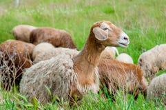 Young sheep on pasture Stock Photos