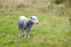Young sheep on pastured land Stock Images