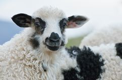 Young sheep Royalty Free Stock Photography