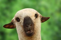 Young sheep portrait Stock Images