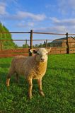 Young sheep. Portrait of young sheep on the pasture Royalty Free Stock Photography