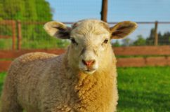 Young sheep. Portrait of young sheep on the pasture Stock Images