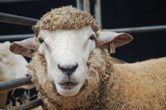 Young sheep is smiling and starring Stock Photography