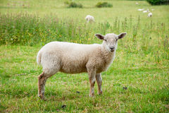 Young sheep. A young sheep standing in a field stock image