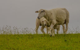 Young sheep walk on green grass Stock Photos